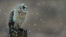 Arsalan Butt captured this short-eared owl in Delta, a shot that came in third place in a BC SPCA photo contest.