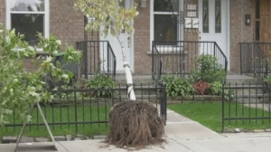 Workers gave up trying to plant trees on NDG lawns after residents staged a protest.