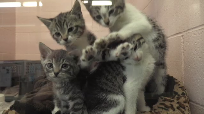 Cats at Greater Moncton SPCA