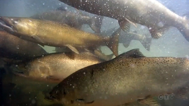CTV National News: B.C.'s salmon industry