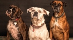 Dogs' behaviours are largely influenced by genetic factors inherited from their parents, according to new research. (Nancy Guth / Pexels)