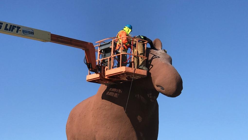 Antler-ectomy underway on Mac the Moose