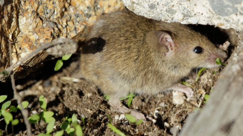 A brown house mouse