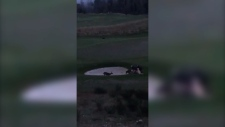 Deer attack