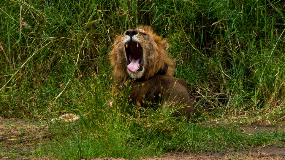 In this Sunday July 7, 2019 photo, a young male lion yawns as he wakes up in Tanzania's Tarangire National Park. (AP Photo/Jerome Delay)