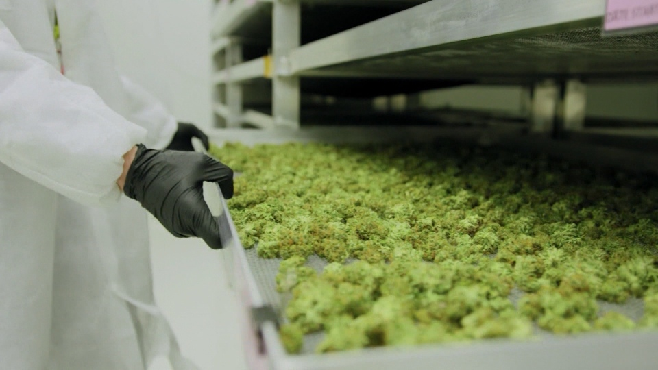 Before marijuana can be legally sold in Canada, it has to undergo safety testing.