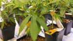 Cannabis seedlings at a cannabis facilty, on November 24, 2017 in Montreal.  (Ryan Remiorz / THE CANADIAN PRESS)