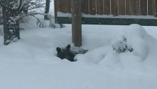 Beth Towes, who lives outside Waterton Lakes National Park, took this photo of a black bear snuggled down in the snow this week.