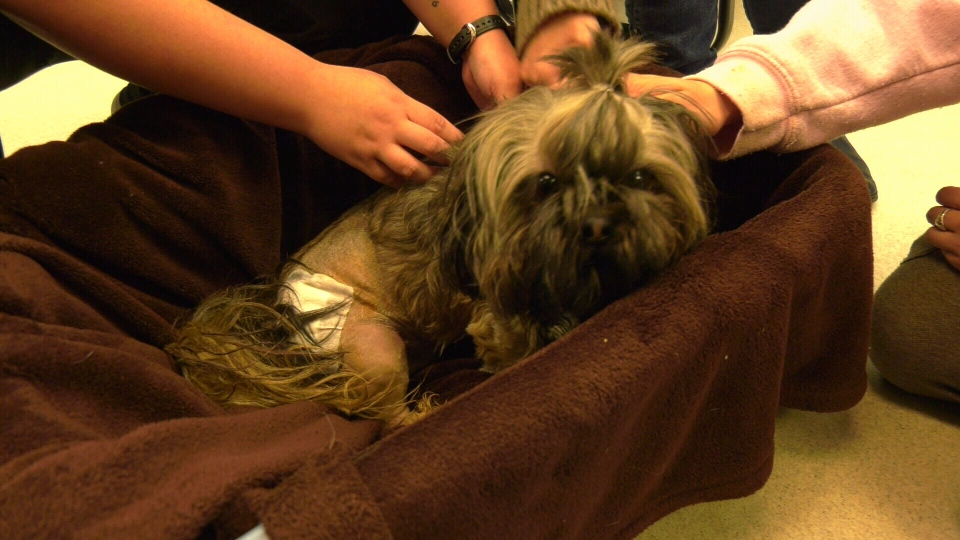 Bear, a Shih Tzu, suffered multiple pelvic fractures and underwent surgery at Central Victoria Veterinary Hospital.