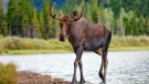 A young bull moose walks through Glacier National Park. (Shutterstock)