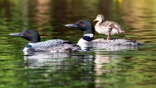 Two loons raised an orphaned mallard duckling on Long Lake in Wisconsin this summer. (Linda Grenzer / The Loon Project)