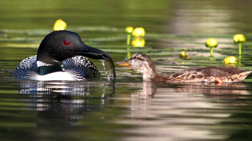 A loon tries to feed a mallard duckling it is rearing at Long Lake in Wisconsin. (Elaina Lomery / The Loon Project)