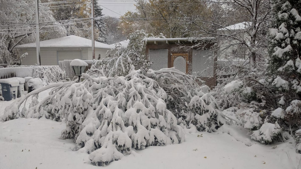 The wintery conditions and strong winds brought down many trees across Manitoba. (Source: Carol Green)