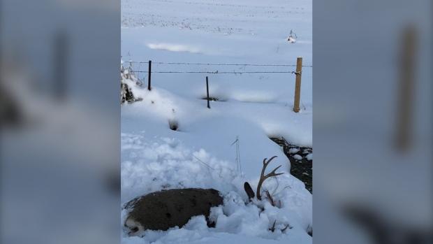 Dead, deer, Pincher Creek, ditch, shot