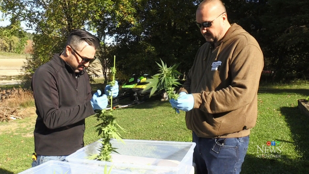 How to harvest a cannabis crop at home