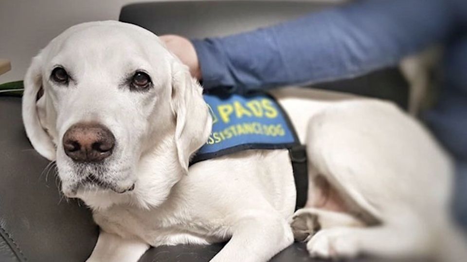 Delta police trauma dog Caber
