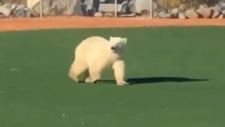 Polar bear wanders across baseball field in Church