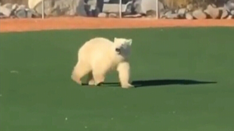 'It's rare': Young polar bear spotted on baseball diamond in Churchill, Man.