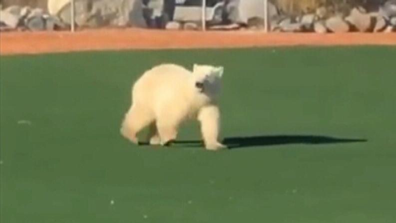 Polar bear wanders across baseball field in Church
