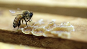 A bee works on a honeycomb on July 16, 2014. (Marcio Jose Sanchez / AP)