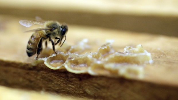 A bee works on a honeycomb