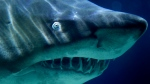 A Sand Tiger Shark swims in its aquarium at the Zoo-Aquarium in Berlin, Germany, Tuesday, Nov. 9, 2010. (AP Photo/Michael Sohn)