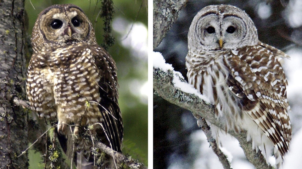 Northern spotted owl, left, and a barred owl