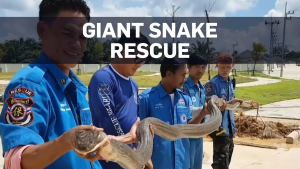 4-metre-long king cobra rescued from Thai sewers