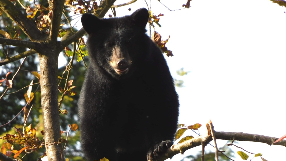 Maple Ridge residents came together to protect this bear that had climbed a tree dangerously close to traffic. (Photo: Ross Davies)
