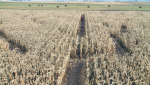 The cornmaze, a southern Alberta autumn tradition, is back, helping celebrate Thanksgiving by giving back.