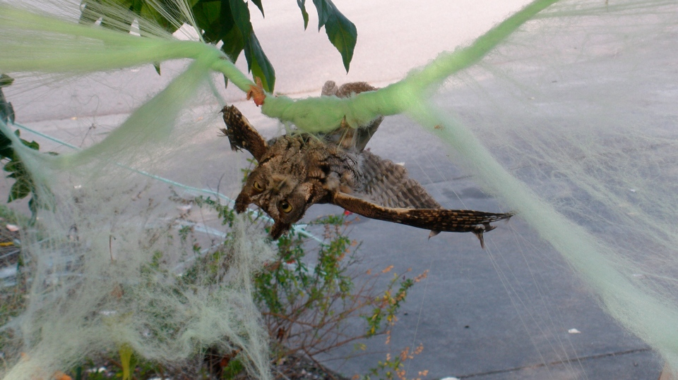This 2017 photo provided by Marin Humane shows an owl who had gotten caught up in some decorative Halloween cobwebs outside of a residence in Mill Valley, Calif. (D. Stapp/Marin Humane via AP)