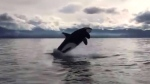 Video shows orcas off Vancouver Island