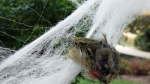 A bird is tangled in decorative Halloween spider webbing, in this video screengrab.
