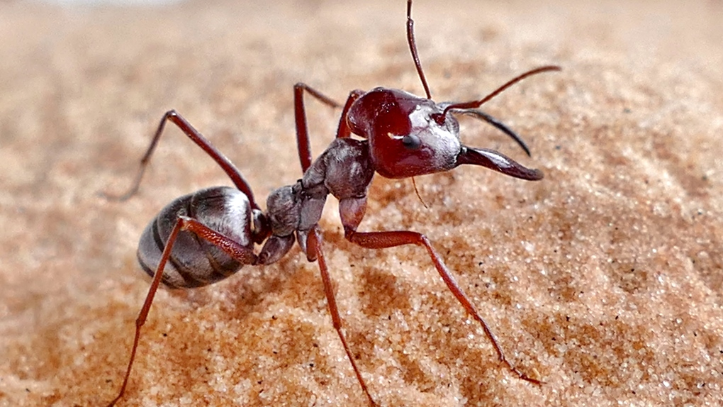World's fastest ant found in the Sahara, researchers say