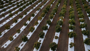 In this Oct. 10, 2016 photo, the morning sun hits rows of maturing pot plants at Los Suenos Farms, America's largest legal open air marijuana farm, in Avondale, southern Colo. (AP Photo/Brennan Linsley)