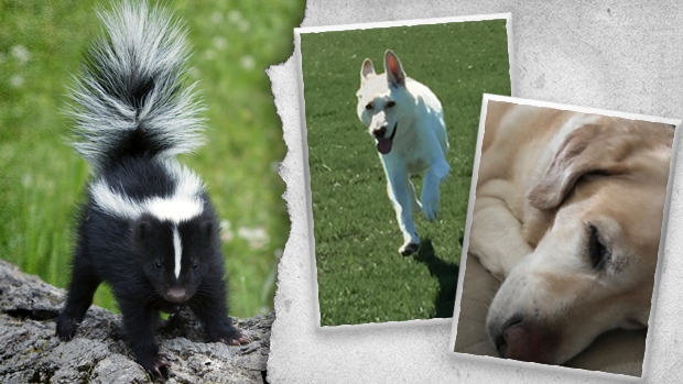 Dogs hit by skunks this fall.