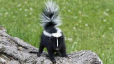 Skunk with tail up ready to spray.