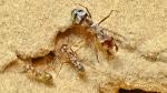 Meet the ant world's speed champion