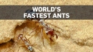 World's fastest ant discovered in the sands of the