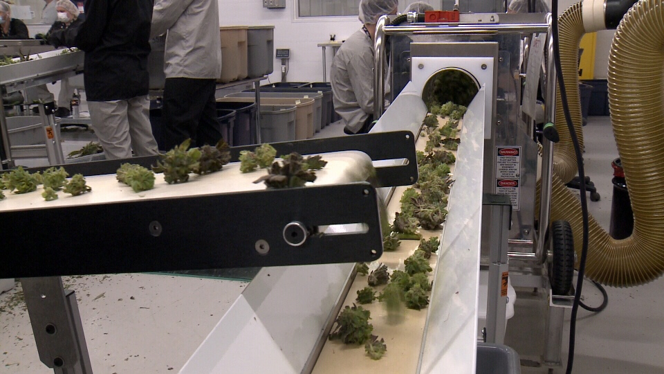 Cannabis production inside Canopy Growth's Tweed plant in Smiths Falls, Ont.