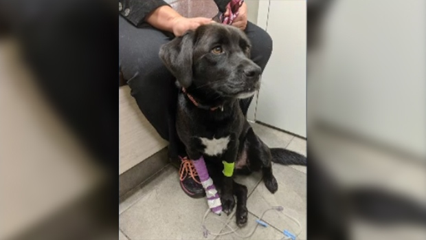 Leo, a two-year-old Labrador mix, is seen being treated for poisoning in London, Ont. in this family photo.