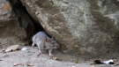 In this Sept. 17, 2015 file photo, a rat leaves its burrow at a park in New York City. (AP Photo/Mary Altaffer, File)