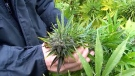 Thieves keep stealing from N.Y. hemp farmer