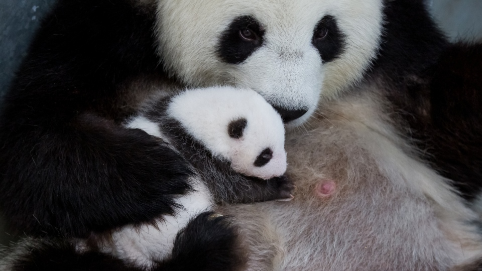 "The International Union for Conservation of Nature's (IUCN) Red List of Threatened Species classifies giant pandas as ""vulnerable."" (Zoo Berlin)"
