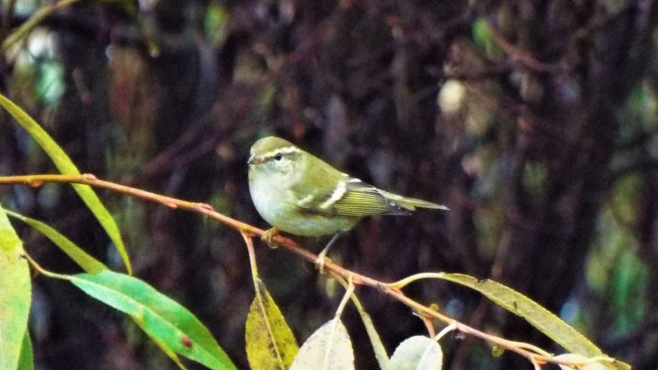 Kirsten Mills was one of the first to spot the yellow-browed warbler in Panama Flats on Friday. (Photo: Geoffrey Newell)