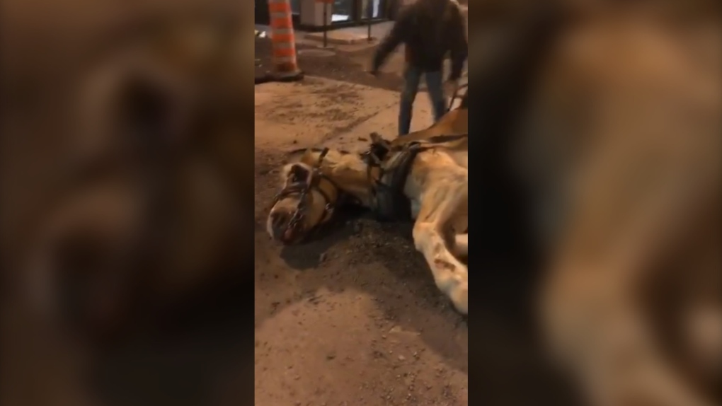 Another calèche horse fell in Montreal