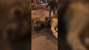 A calèche horse lying on the ground, with two men trying to help it back up, has revived complaints about the controversial industry.