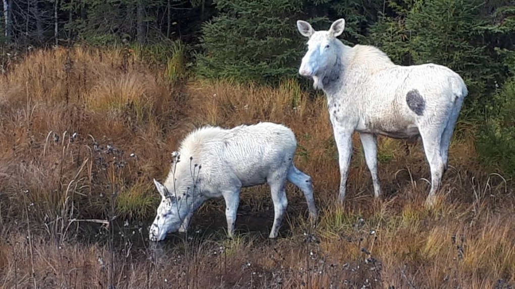 Pair of spirit moose seen along a northern Ontario highway