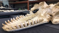 An orca skeleton was recently discovered near Courtney, B.C.