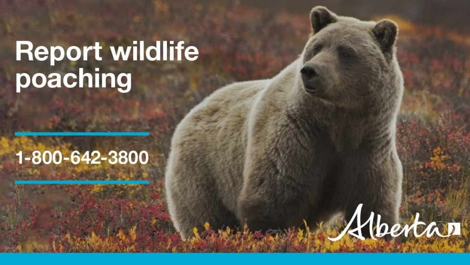 Alberta Fish and Wildlife Grizzly picture